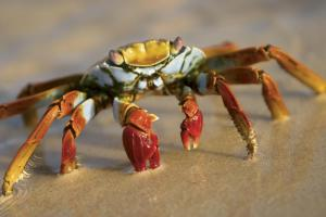 Getting up close with a crab in the Galapagos