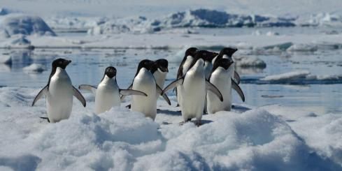Adelie penguins wandering through the ice.