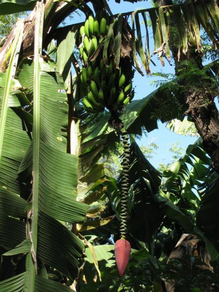 Banana tree at La Azotea Cultural Center
