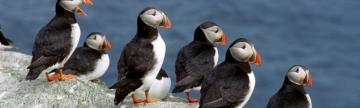 A group of puffins rest on the rocks