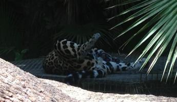 Sleeping jaguar at the Belize zoo