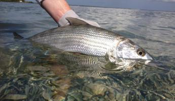 Bonefish caught at Turneffe