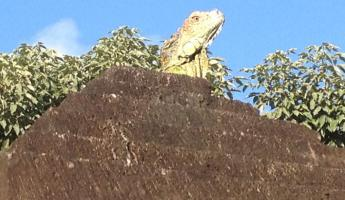 Iguana on top of our roof