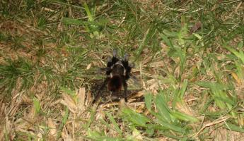 A tarantula on our night hike at Turneffe Flats. YIKES!