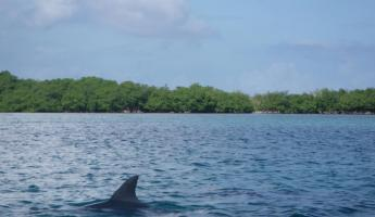 Dolphins swimming near Turneffe Flats