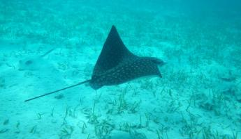 Spotted Eagle Ray below us while snorkeling at Turneffe