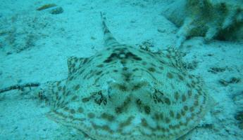Yellow spotted sting ray
