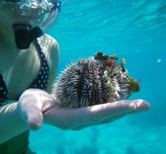 Handling an urchin while snorkeling at Turneffe Flats