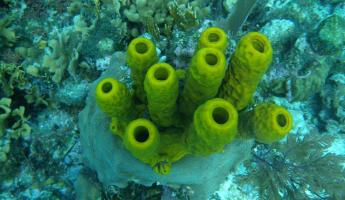 Tube coral we saw while snorkeling around Turneffe Flats