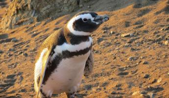 One of many penguins on Magdalena Island