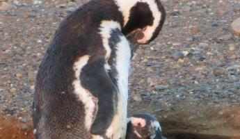Penguins in their hole on Magdalena Island
