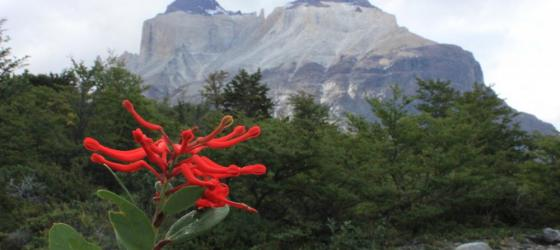 Day 3: Chilean Firebush with The Horns in background