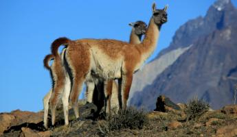 Day 5: Guanacos