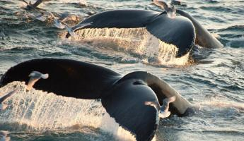 Surfacing Humback Whales