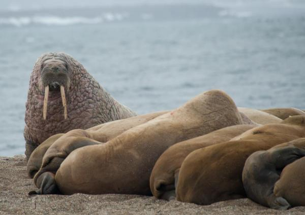 A herd of walrus keeping watch