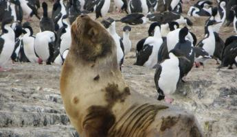 Day 11: A sea lion among a colony of Imperial cormorants