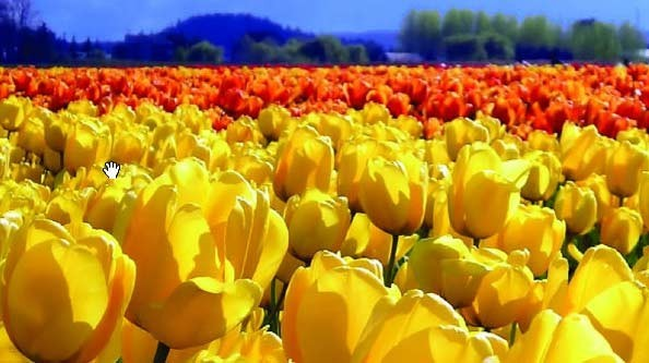 Walk through fields of famous Dutch tulips