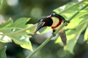 Chestnut-eared Aracari in the Amazon