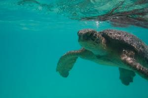 Galapagos Green Sea Turtle off the shores of Santa Fe Island