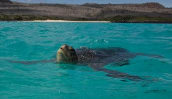 Galapagos Green Sea Turtle comes up for air off Santa Fe Island