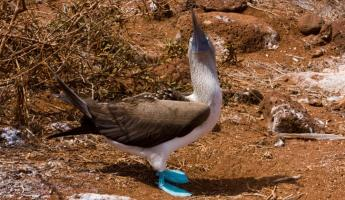 (Seymour) Male Blue Footed Boobie