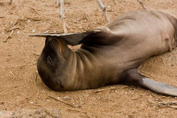 A sea lion scratches an itch on Lobos Island