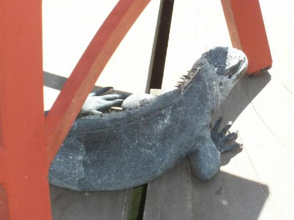 Marine Iguana on the deck Adventura Lodge