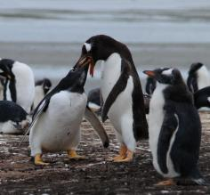 Gentoo Penguins feeding