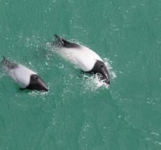 Commersons Dolphin