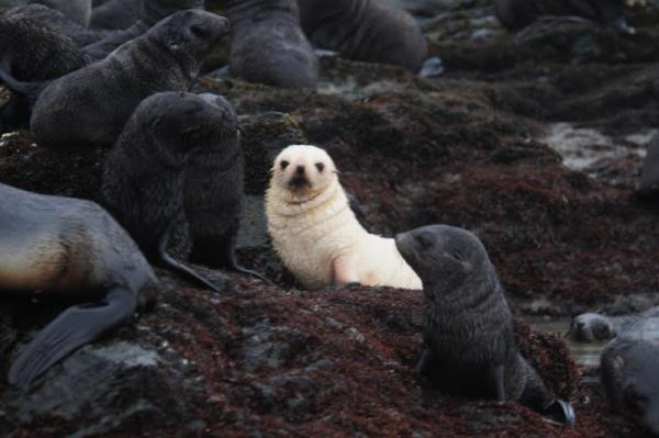 Blondie (Leucistic) Southern Fur Seal and Friends