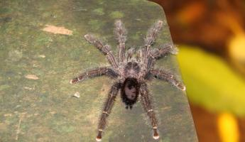 Tarantula outside our cabin at Sacha Lodge