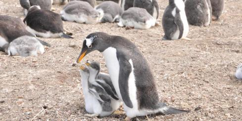 Gentoo Penguin with two babies on Sea Lion Island