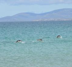 Gentoos in the water on a beautiful day at Saunders Island