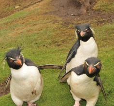 Rockhopper Penguins on Saunders Island