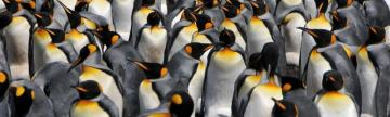 King Penguin colony on Volunteer Point, East Falkland Island