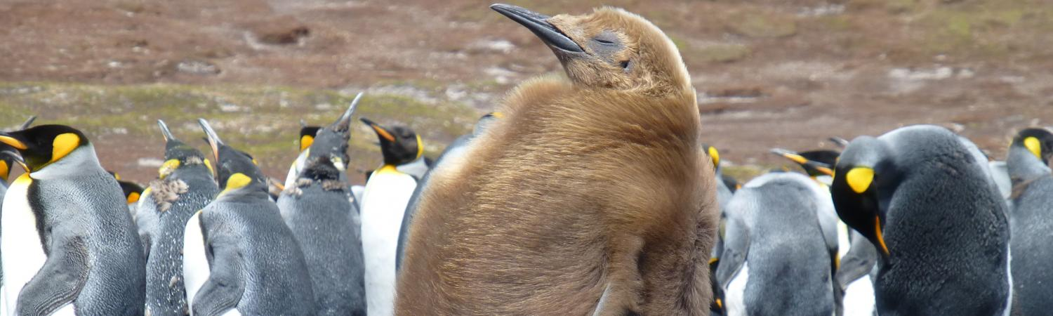 An adolescent King Penguin in the Falklands