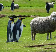 Wild King Penguins and domestic sheep coexist in the Falkland Islands