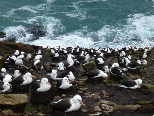 Nesting Black-Browed Albatross on the Falkland Islands