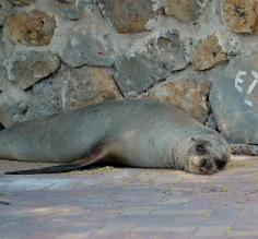Sea Lion napping in the Galapagos