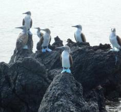 Blue footed boobies, Santa Cruz Island