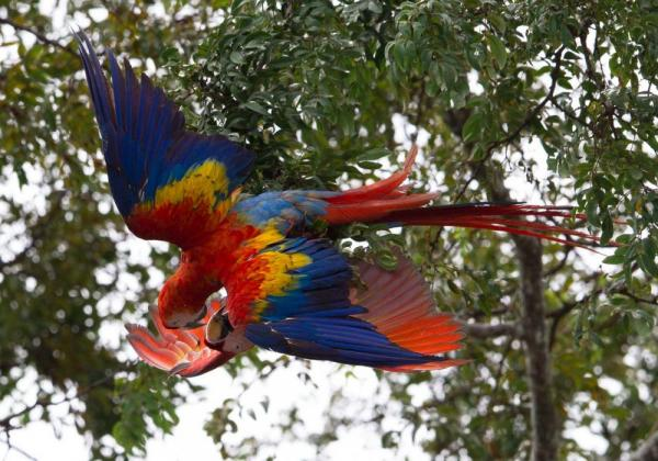 Macaws playing in the canopy.