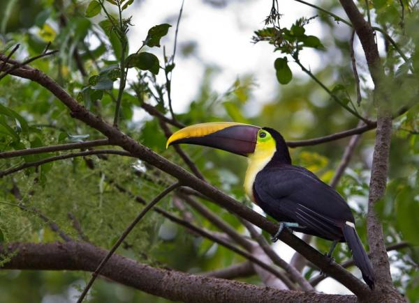 A toucan rests in the trees around Lapa Rios Ecolodge