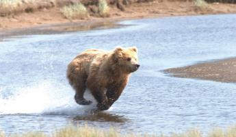 A bear sprints across the landscape