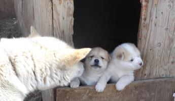 Sled dog and pups in Sisimiut