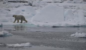 Male Polar Bear on ice floe in Davis Strait