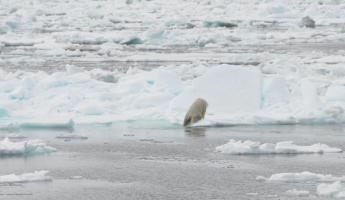 Polar bear exiting Davis Strait