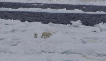 Mama polar bear and cub in Hudson Strait