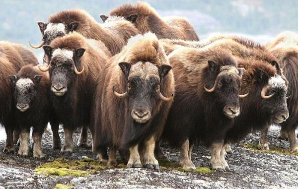 Be on the lookout for fantastic Arctic wildlife, such as shaggy muskoxen, while on your polar exploration