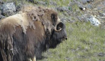 Musk ox near Greenland Ice Cap