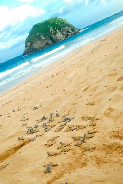 Sea turtles make their way to the ocean on Fernando de Noronha's main island